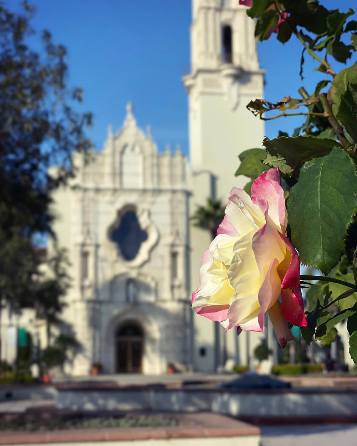 Rose in front of The Immaculata